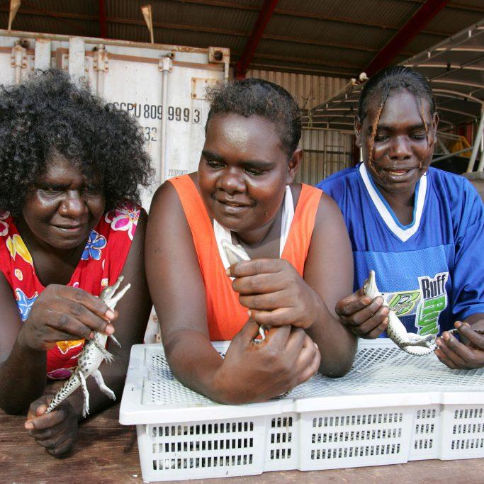BHF0PJ Djelk Rangers breed and grow crocodiles for sale to farms in Northern Australia